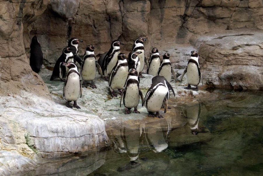 Penguins in their typical enclosure at the St. Louis zoo.