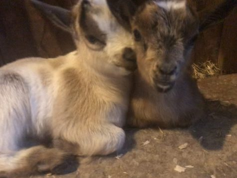 Lexis new baby goats, Lilly and Gilly, cuddled up next to eachother